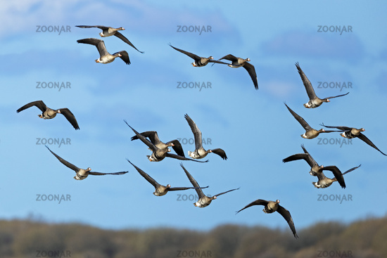 Greater White-fronted Geese during the migration at the German North Sea coast