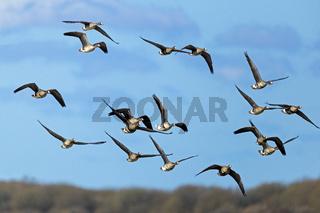 Blaessgaense waehrend des Vogelzugs an der Deutschen Nordseekueste