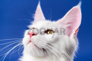 Close-up portrait of American Forest Cat with large eyes looking sideways and up on blue background