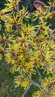 Zaubernuss, Hamamelis japonica