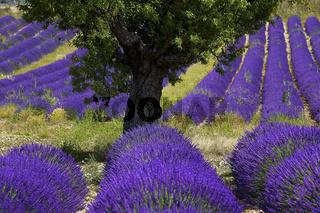 Lavendelfeld, Plateau de Valensole, Provence, France