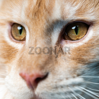 Extreme close-up portrait of red tabby Maine Coon Cat looking at camera