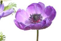 Poppy Anemone
