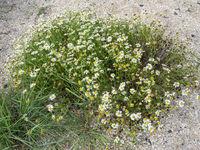 Leucanthemum vulgare Meadow daisy
