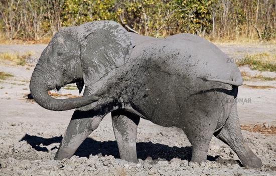 elephant in mud, Savuti, Chobe, Botsuana
