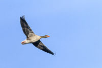 Greylag Goose in flight / Anser anser