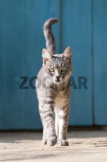 Hauskatze vor blauer Holztür, Zypern, cat in front of a blue wooden door, Cyprus