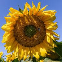 Sonnenblumen 13
