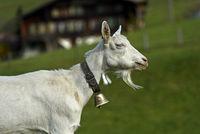 Saanen goat, unhorned billy goat with goatbeard and bell, Saanen, Switzerland