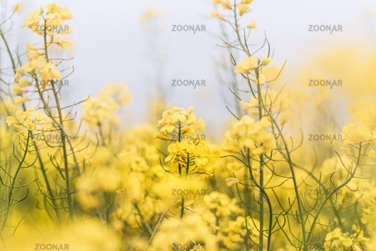 Yellow rapeseed field, green trees, overcast weather. Wide-angle agricultural landscape, springtime