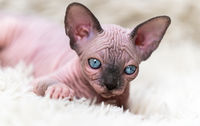 Canadian Sphynx Cat kitten with big blue eyes looking at camera, lying on white carpet