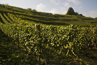 Vineyards, Mayschoss, Ahr Valley, Eifel, Rhineland-Palatinate, Germany, Europe