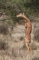Gerenuk feeding on a branch