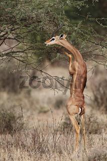 Giraffengazelle (Litocranius walleri) beim Fressen