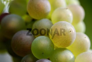 Gelbe, grüne und rote Weintrauben, Nahaufnahme