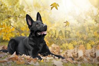 Hund, Deutscher Schäferhund, schwarz liegt in Herbslaub