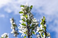 An apple tree blooming with white flowers.