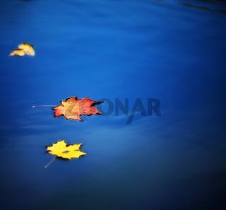 maple leaves on water