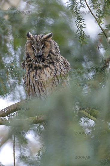 Long-eared owl on the sleeping place / Asio otus