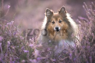 Portrait of a cute shetland sheepdog sitting between blooming heather looking away