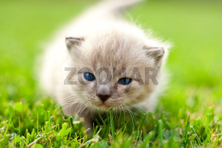 White kitten on a green lawn