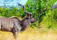 Antelope Kudu with branching horns
