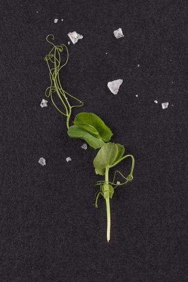Microgreens. Tiny pea leaf on black background. Top view.
