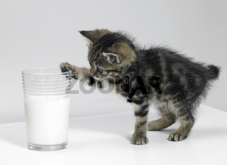 kitten touching a glass of milk