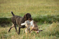 German Wirehaired Pointer and the rabbit