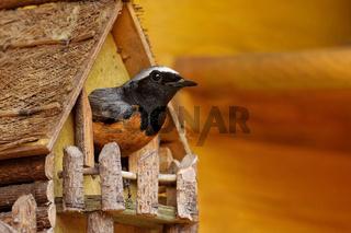 Gartenrotschwanz brütet im Miniaturhäuschen