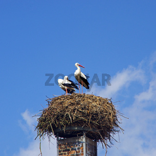 Storks 	ciconia