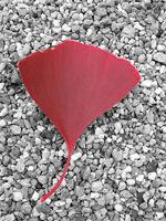 red ginkgo