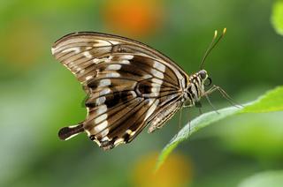 Tropischer Schmetterling Papilio constantinus