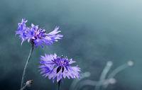 Blue cornflowers isolated on grau blur background