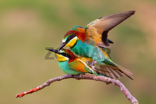 Two european bee-eaters mating on a twig in spring nature