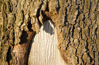 Tree wound