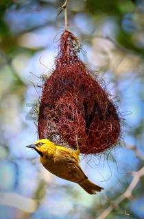 Brillenweber, Etosha NP, Namibia | spectacled weaver , Etosha NP, Namibia