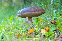 Birkenpilz im herbstlichen Wald- birch boletus in autumn forest