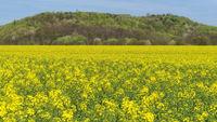 Ronnenberg - Rapsfeld (Brassica napus) vor renaturierter Abraumhalde, Deutschland