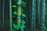 Detail of bamboo trunk covered with envy in mystical forest at Arashiyama grove in Kyoto, Japan