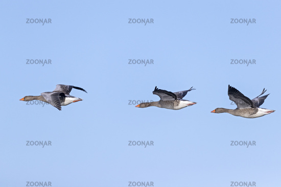 Greylag Goose can reach an age of 17 years