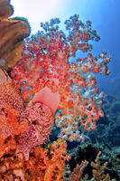 Multi-branched trees, Soft Coral, Lembeh, North Sulawesi, Indonesia, Asia