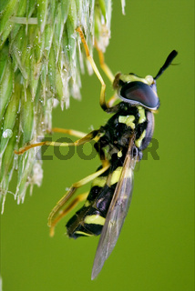 volucella flower