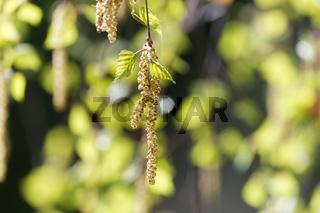 Birkenkätzchen im Frühling