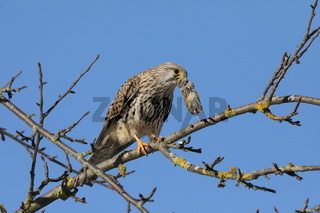 Common kestrel (Falco tinnunculus) after hunting with a mouse  Germany