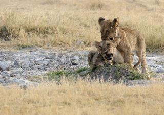 Afrikanische Löwen