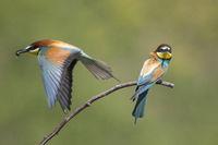 Bienenfresser, Merops apiaster, European bee-eater