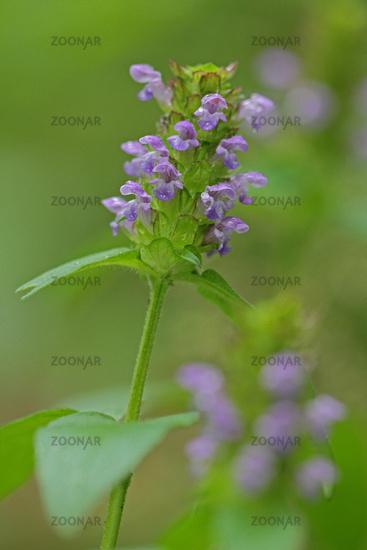 Common self-heal (Prunella vulgaris)