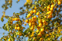 Ripe yellow mirabelle plums on tree branches. (Prunus domestica syriaca)