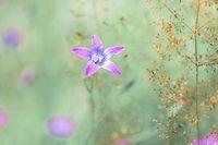 flower campanula patula, wild flowering plant